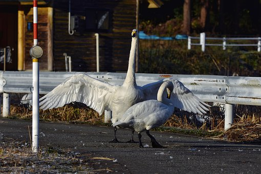 Animal, Road, Bird, Wild Birds, Swan, Video High Chou