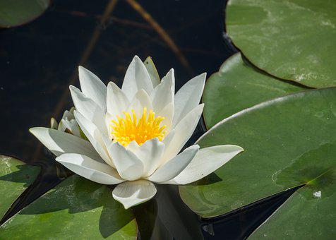 Water Lily, Blossom, Bloom, White, Pond Plant