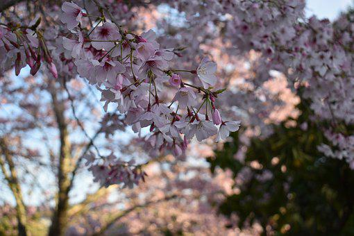 Japan, Cherry Blossom, Spring, Bloom, Garden, Nature