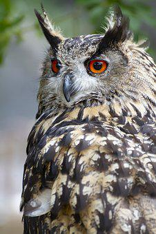 Owl, Bird, Nature, Animal, Plumage, Color