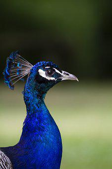 Peacock, Bird, Nature, Animal, Plumage, Color