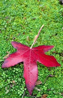 Maple Leaf, Red, Autumn, Leaf, Leaves, Colorful