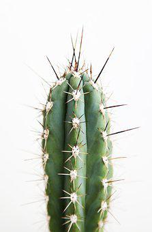 One, Cactus, Cacti, Desert, Green, Plant, With, Thorns