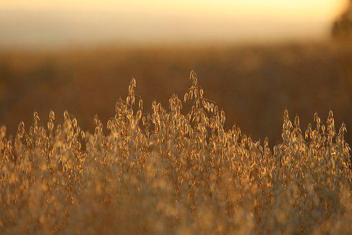Field, Grain, Cereals, Wheat, Agriculture, Cornfield