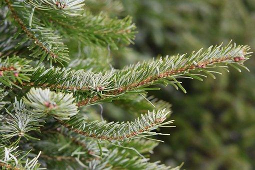 Fir, Fir Branch, Christmas Tree, December, Festival