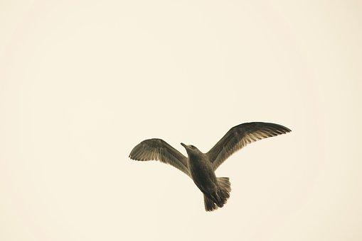Gull, Bird, Sky, Flight, Flying, Wings, Feather, Gulls