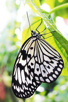 Idea Leuconoe, Black And White, Butterfly, On, Leaf