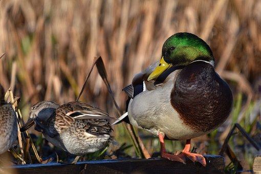 Animal, Pond, Bird, Wild Birds, Duck, Mallard, Smile