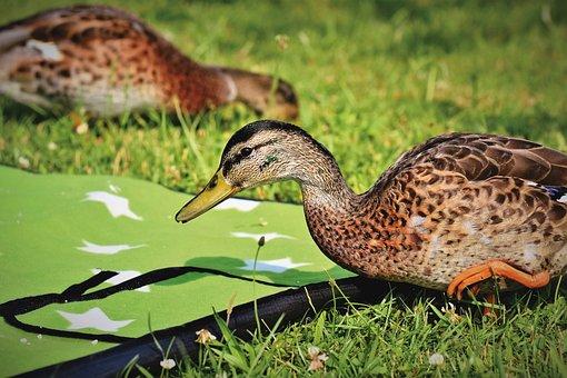 Duck, Mallard, Water Bird, Poultry, Bill, Duck Bird