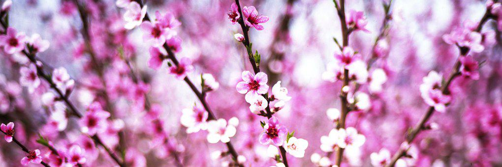 Colour, Peaches, Panorama, Pink, The Flowers, Branches