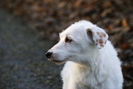 Dog, Parson Russell Terrier, Terrier, Pet, Cute