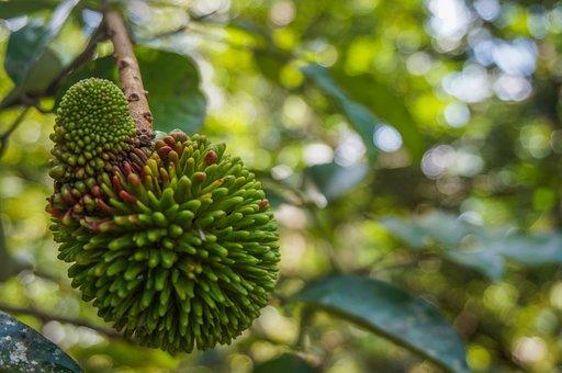 Fruit, Pulasan, Tropical, Tree, Nature, Plant