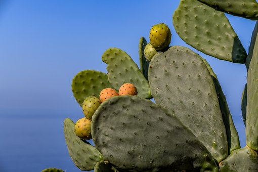Cactus, Fig, Plant, Prickly Pear, Cactus Greenhouse