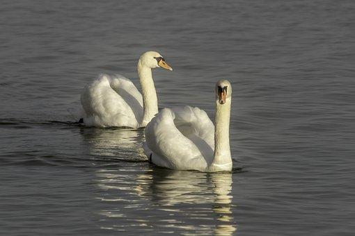 Swan, Cam, Water Bird, Head, Beak, Elegant, Water Fowl