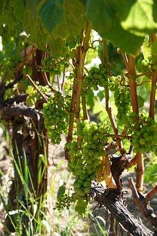 Grapes, Vine, Wine, Vineyard, Winegrowing, Grapevine