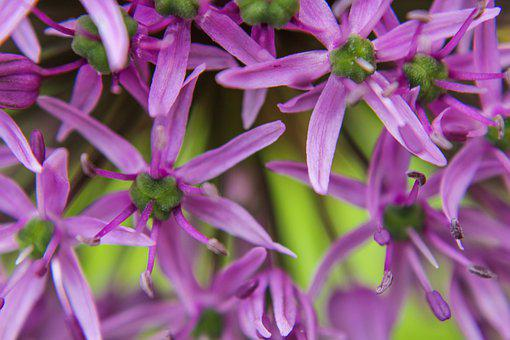 Ornamental Onion, Macro, Allium Stratos, Allium, Violet
