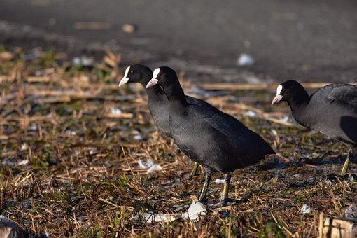 Animal, Bird, Wild Birds, Waterfowl, Coot, Ground
