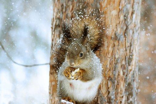 Squirrel, Winter, Nature, Snow, Tree, Animals, Rodent