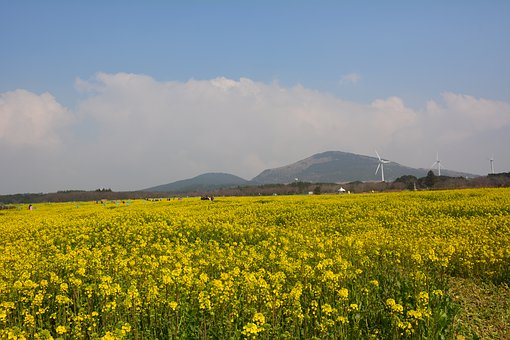 Jeju Island, Rape Flowers, Yellow Flower, With Our