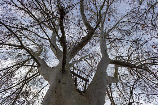 Sycamore Tree, Wood, Deciduous, Trees, Autumn, Tribe