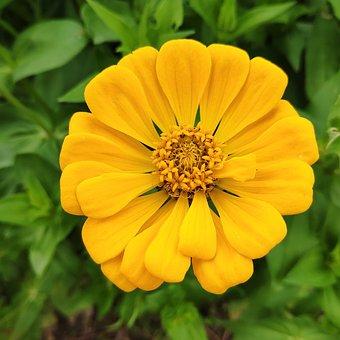 Daisy Yellow, Zinnia Chrysanthemum, Flower, Flowers