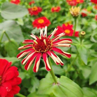 Red Zinnia Chrysanthemum, Zinnia Chrysanthemum, Flower