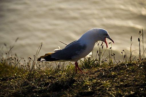 Seagull, Gull, Bird, Animal, Nature, Wildlife, Seabird