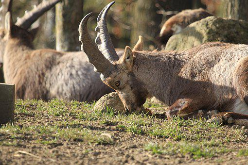 Ibex, Animals, Nature, Mountains, Horns, Alpine, Mammal