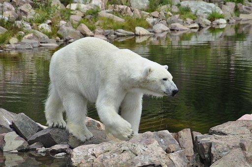 Polar Bear, Rocks, Water, Ice, Artic, Sweden, Orsa