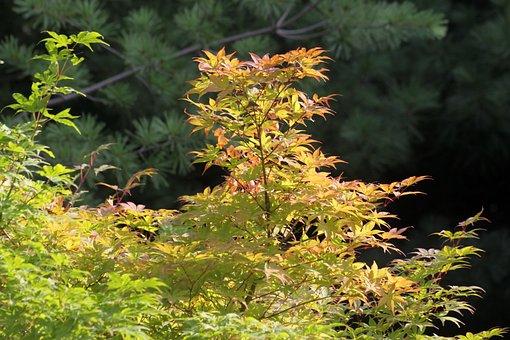 Maple, Maple Leaf, Wood, Nature, Autumn, Autumn Leaves