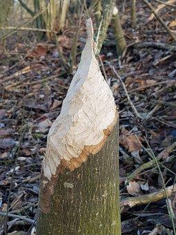Beaver, Wood, Tree, Nature, Beaver Eating