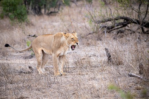 Lioness, Evil, Hiss, South Africa, Nature, Big Cat