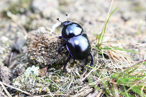 Earth-boring Dung Beetle, Bug, Biology, Dung, Insect