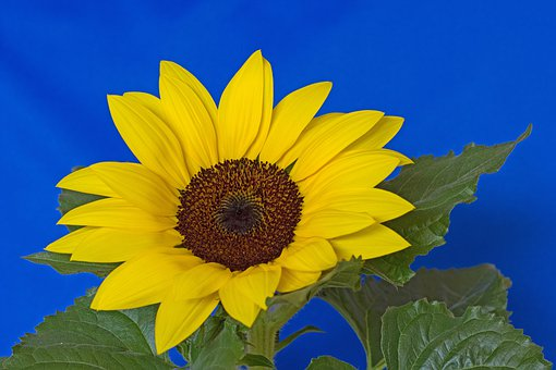 Sunflower, Flower, Blossom, Bloom, Petals, Yellow, Blue