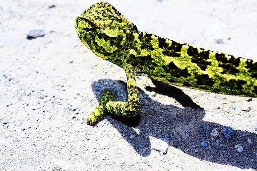 Lizard, Green, Chamaeleo Chamaeleon, Chamaeleon