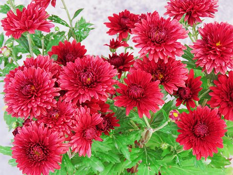 Chamanti, Chamanti Plant, Flowers Plant, Flowers, Plant
