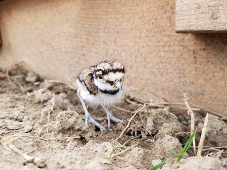 Killdeer, Chick, Baby Bird, Animal, Cute, Bird, Nature