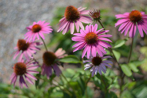 Coneflower, Echinacea, Flower, Garden, Medicinal Plant
