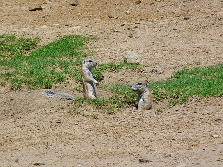 Gophers, Croissant, Africa, South Africa, Rodent, Nager