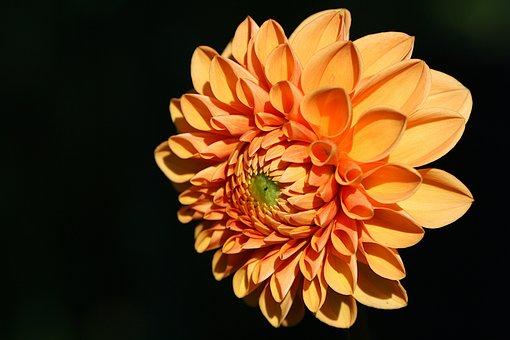 Background, Black, Flower, Dahlia, Orange, Close Up