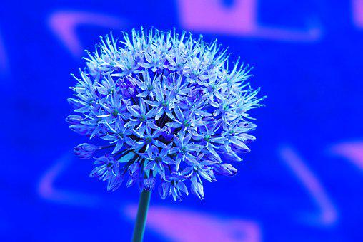 Decorative Garlic, Flower, The Background, Graffiti