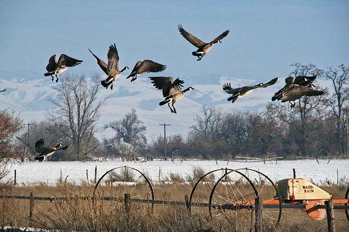Goose, Geese, Take Off, Flying, Birds, Flock, Startled