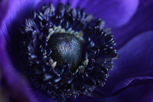 Blue, Anemone, Flower, Blossom, Nature, Flora