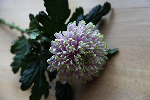 White, Chrysanthemum, Flower, Nature, Garden, Plant
