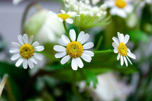 Chamomile, Flowers, Plants, Nature, Beauty, Close