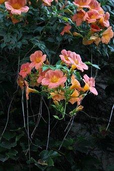 Campsis, Flowers, Nature, Wildflower, Plants, Stem