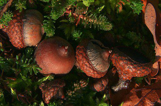 Acorns, Fruiting Bodies, Morning Sun, Weathered, Autumn