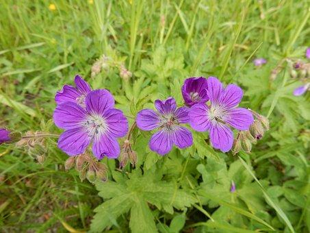 Meadow, Wildflower, Nature, Violet, Geranium, Green