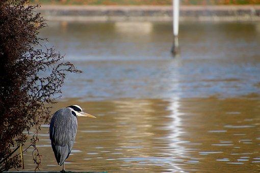 Heron, Lookout, Careful, Gray Color, Fisherman, Beak