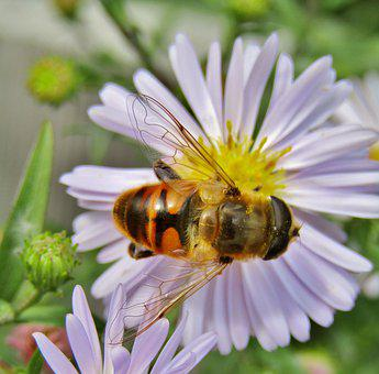 Insect, Hoverfly, Two Band-rejected Hover Fly, Flower